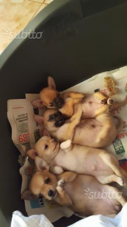 Cuccioli di chihuahua ultimi rimasti due maschi