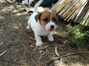 Cuccioli di jack russel terrier con pedigree