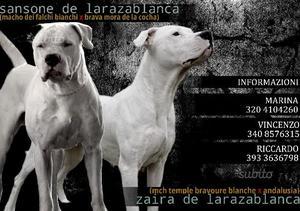 Cuccioli dogo argentino