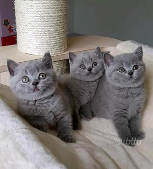 Cuccioli gattini di British Shorthair Splendidi