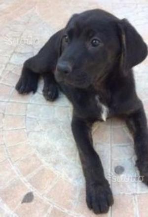 Cuccioli incrocio Labrador 2 mesi