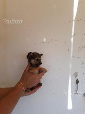 Cucciolo mini incrocio spitz - chihuahua