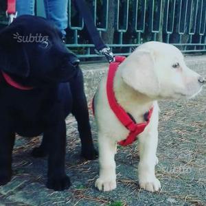 Disponibili cuccioli di Labrador