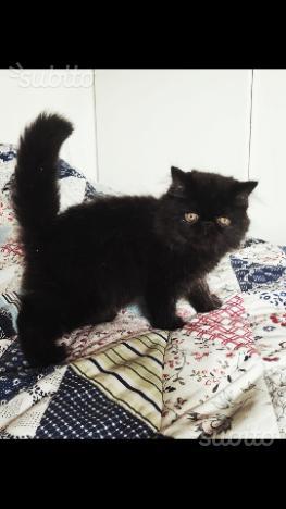 Gattini persiani ipertipici