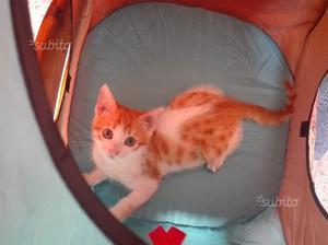 Gattino dolcissimo 3mesi bianco e rosso