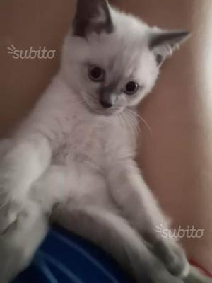 Gattino scottish straight Blue Point