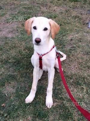 KYLE, mix Labrador maschio, meno di un anno NOVARA