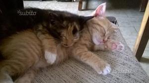 Regalo 2 Gattini di 3 mesi