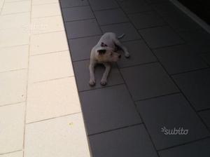 Regalo cane di razza