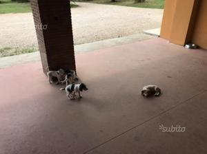 Regalo cuccioli incrocio beagle x jack russel