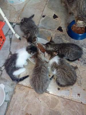 Regalo gattini appena svezzati