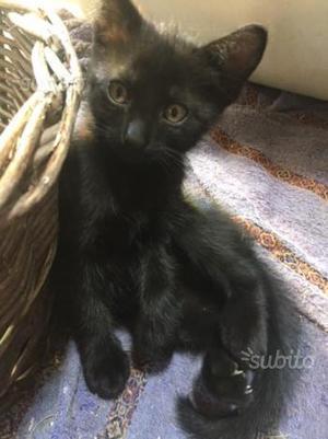 Regalo gattino nero, maschio di due mesi