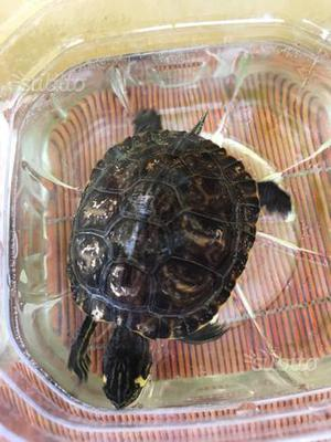 Tartarughe d'acqua di 7 anni