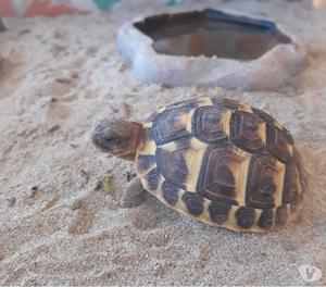 Tartarughe di terra hermanni posot class for Prezzo tartarughe