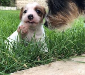 Cuccioli di Jack Russell Terrier a pelo ruvido