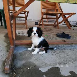 Cucciola di Cavalier King con pedigree