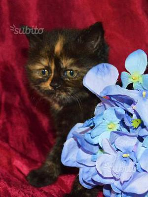 Cuccioli di British Shorthair colori rarissimi