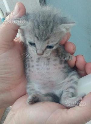 Cuccioli di gattini di due mesi