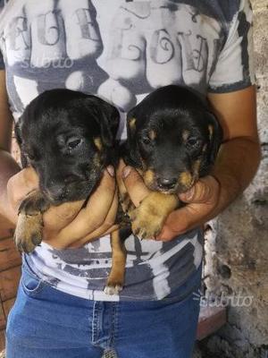 Cuccioli jagd terrier