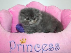 Cucciolo persiani