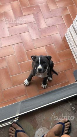 Cucciolo pitbull Black nose 2 mesi