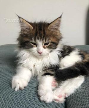 Gattini Maine Coon