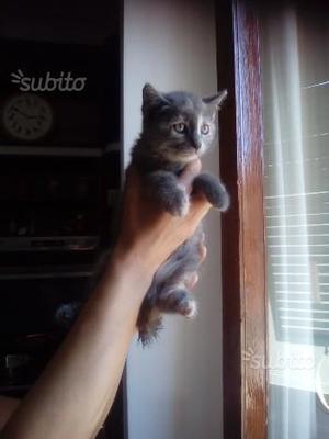 Gattini mix british