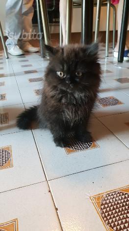 Gattini persiani subito disponibili