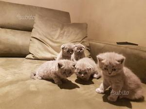 Gattini razza scottish/straight/ fold