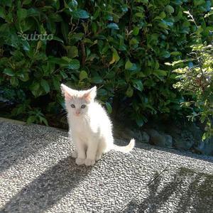Gattino bianco