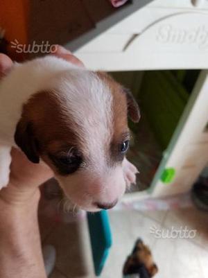 Jack russel di due mesi femmina nata 19 maggio
