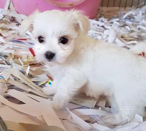 Maltese MINI TOY cuccioli di 2 mesi