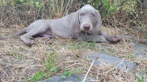 Meraviglioso cucciolo di weimaraner