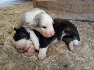 Pastore australiano cuccioli