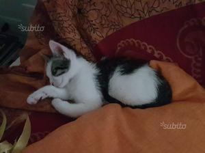 REGALO gattino simpatico e affettuoso