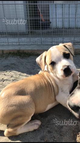 Super Cuccioli di Amstaff BLU con pedigree enci