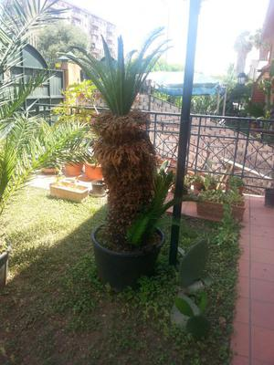 Cycas pianta ornamentale da giardino affare posot class for Pianta cycas