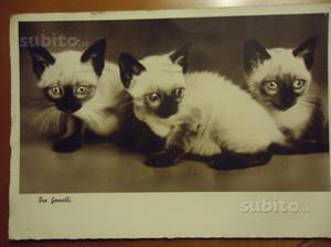 Cartolina gatti siamesi