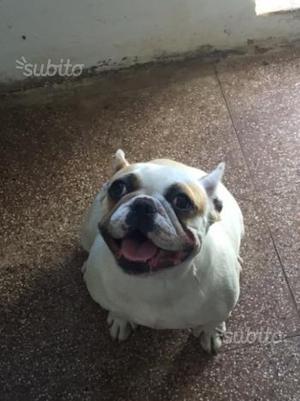 Bulldog francese femmina di 19 mesi