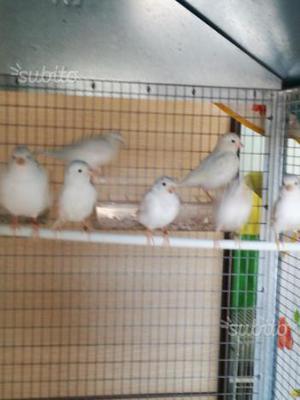 Canarini bianchi recessivi giovani anno