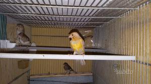 Canarini e Cocoriti