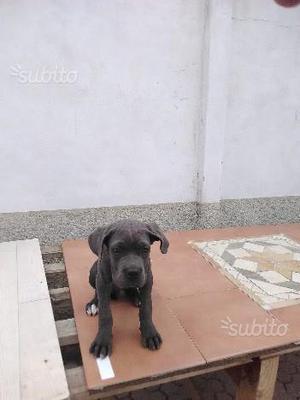 Cane corso di 3 mesi