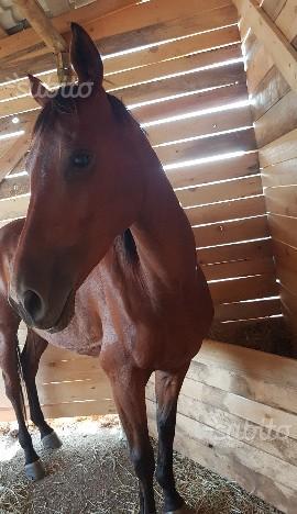 Cavallo anglo araba
