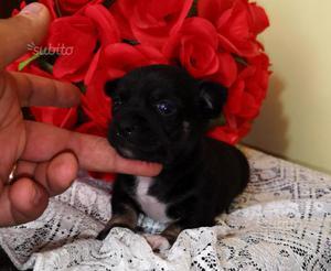 Chihuahua femmina a pelo corto