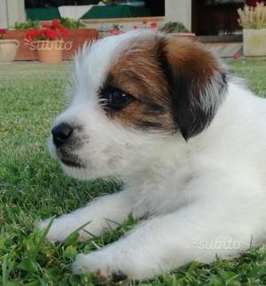 Cucciola di Jack Russel,Terrier, pelo broken