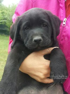Cucciola di Labrador Retriever
