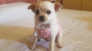 Cucciola di chihuahua con pedigree enxi