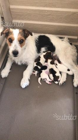 Cuccioli di jack russell terrier con pedigree