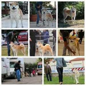 Disponibili cuccioli di Akita con pedigree ENCI