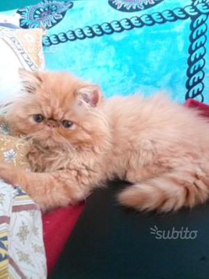 Gattina persiana ipertipica